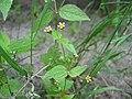 Galinsoga parviflora.jpeg