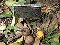 Garcinia Kola Fruits 01.jpg