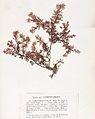 Gastroclonium ovatum Crouan.jpg