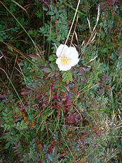 Geöffnete Blüte der Dünenrose.JPG