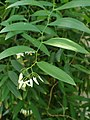 Geitonoplesium cymosum kz03.jpg