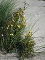 Gelbe Blüten Acker-Gänsedistel.JPG