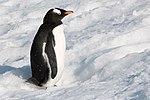 Gentoo Penguin Orne Harbour Antarctica 4 (47336707861).jpg