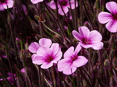 Geranium maderensis.jpg