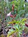 Geranium robertianum Norway.jpg