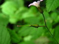 Geranium robertianum seedhead.jpg