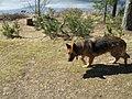 German Shepherd (aka Alsatian and Alsatian Wolf Dog), Deutscher Schäferhund 44.JPG