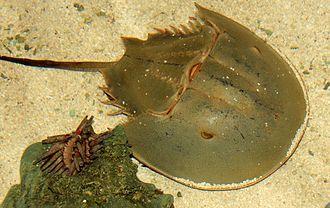 Atlantic Northeast - Image: Gfp horseshoe crab