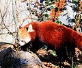 Gfp-red-panda.jpg