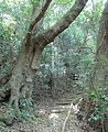 Giant Cunonia capensis trees in Cape Town indigenous forests.jpg