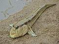 Giant Mudskipper (Periophthalmodon schlosseri) (15184970133).jpg