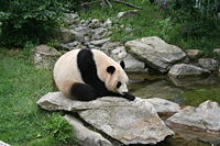 Giant panda at Vienna Zoo.jpg