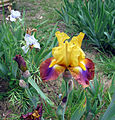 Giardino dell'iris, firenze, 2014, 04.JPG