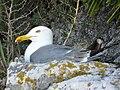 Gibraltar Gull 01.jpg