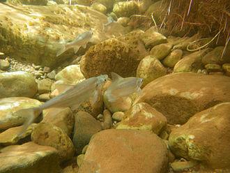 Humpback chub - Young Humpback chubs after release in Shinumo Creek