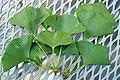 Ginkgo biloba leaves (Celina, Ohio, USA) 1 (49047731087).jpg