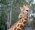 Giraffe 0029 (4015864462).jpg
