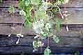 Glechoma hederacea Dappled Light 2zz.jpg