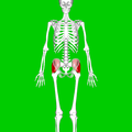 Gluteus medius muscle04.png
