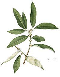 Glycosmis pentaphylla Blanco1.137-cropped