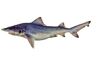 River shark - Image: Glyphis garricki csiro nfc