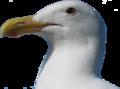 Goéland d'Audubon.png