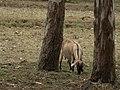 Goat in jungle.jpg