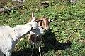 Goats eating - Flickr - USDAgov.jpg