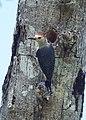 Golden-fronted woodpecker (15940604804).jpg