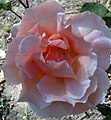 Golden Gate Park Rose Garden 2.jpg