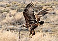 Golden eagle (14257549918).jpg