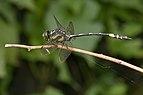 Gomphidia kodaguensis-Kadavoor-2016-06-15-003.jpg