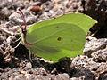 Gonepteryx rhamni M 2.jpg