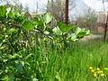 Gooseberries (6988041339).jpg