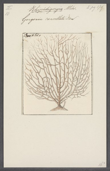 File:Gorgonia cancellata - - Print - Iconographia Zoologica - Special Collections University of Amsterdam - UBAINV0274 109 02 0039.tif