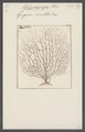 Gorgonia cancellata - - Print - Iconographia Zoologica - Special Collections University of Amsterdam - UBAINV0274 109 02 0039.tif