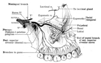 Anatomical diagram of the upper jaw