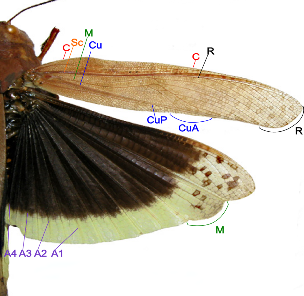 Grasshopper wing structure