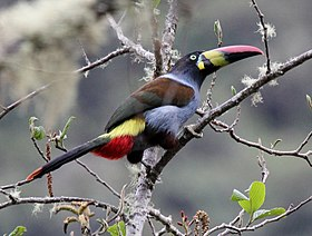 Gray-breasted Mountain-Toucan (Andigena hypoglauca).jpg