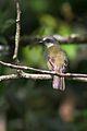 Gray-capped Flycatcher (8263580597).jpg