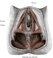 Les muscles du périné féminin
