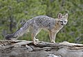 Gray Fox DSC6870.jpg