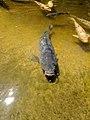 Gray koi in pond at Hakone Gardens.jpg
