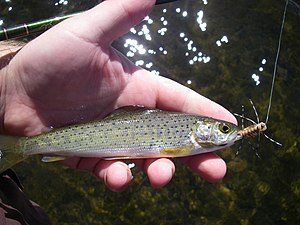 Montana Arctic grayling - Grebe Lake grayling