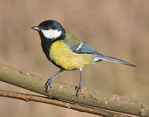 Tualagbitjer (Parus major), at wiifke