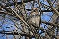 Great-horned owl at Minnesota Valley National Wildlife Refuge (31620203495).jpg