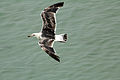 Great Black-backed Gull Juvenile (7496428172).jpg