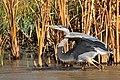 Great Blue Heron on Seedskadee National Wildlife Refuge (22391653916).jpg