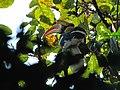 Great Hornbill Namdapha IMG 4979.jpg