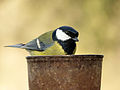 Great Tit (6994052971).jpg